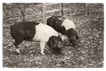 Timbertown Farmyard Friends